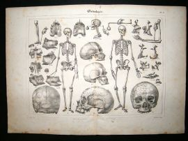 Anatomy Print: 1835 Osteology, Skeleton, Folio.